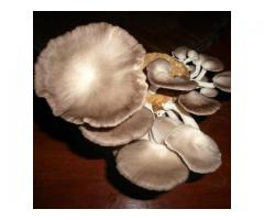 Mushroom at Home