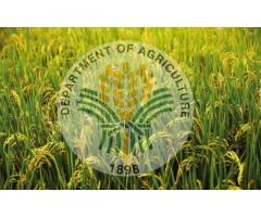 Department of Agriculture RFO XI - Rice Program