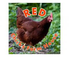 Native Chicken For Sale Pangasinan and La Union by RED Chicks Farm House
