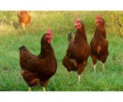 Free Range Rhode Island Red & Other Native Chicken CeBu