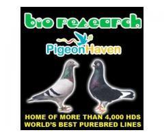 Bio Imported Pigeons