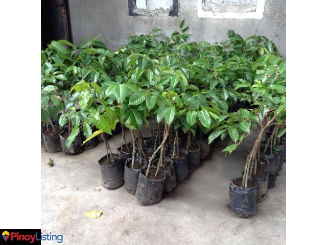 Santos Borbe Hi Value Fruits Nursery