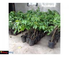 Santos Borbe Hi Value Fruits Nursery